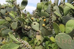 FAO cactus-