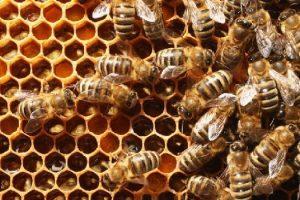 fao abejas